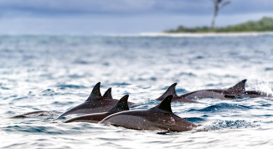 Delfine vor Insel Seychellen