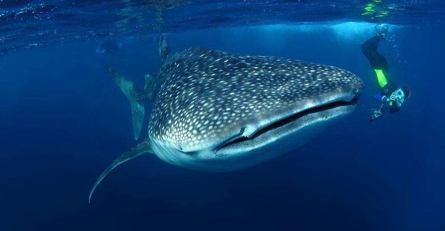 Seychellen Tauchen Tauchreise Walhai